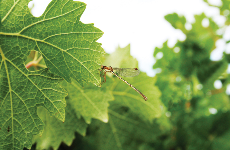 Cabernet sauvignon leaf dragonfly?options=resize(height 520.width 800