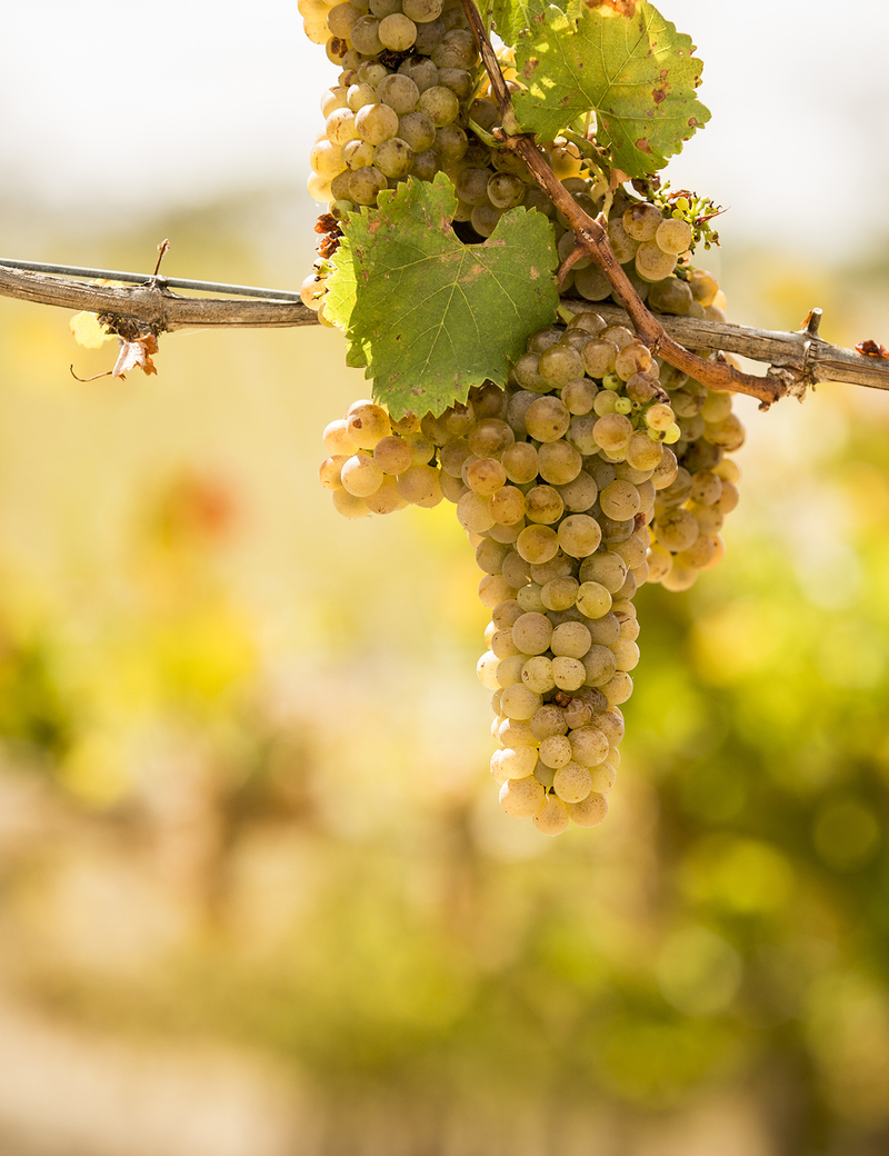 Viognier Bunch On Vine