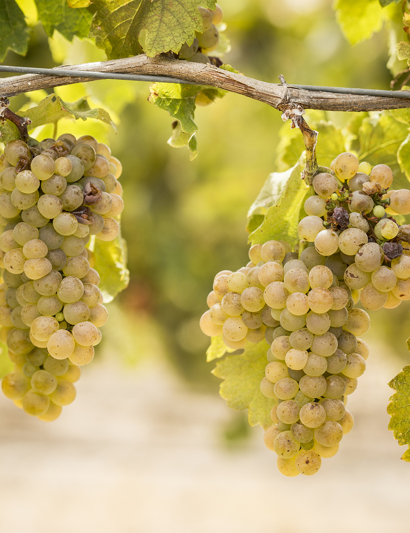 Viognier Bunches On Vine