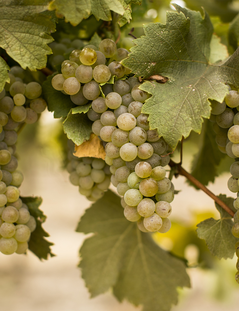 Viognier Grapes On Vine
