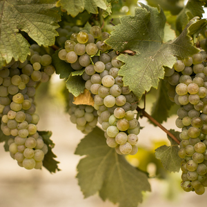 Viognier grapes on vine?options=resize(height 300.width 300